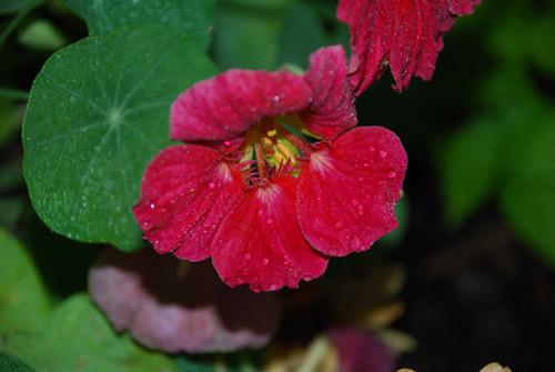 Cherry Rose Jewel Nasturtium