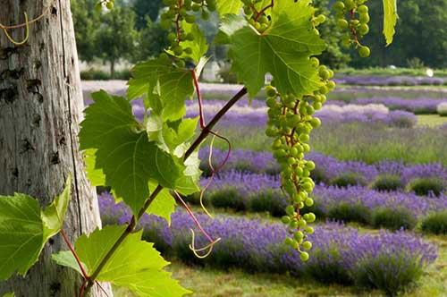 grapes-lavender