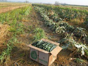 Harvesting leeks and Dino kale
