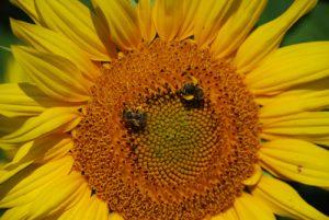 sunflower aug 25 2009 (12)