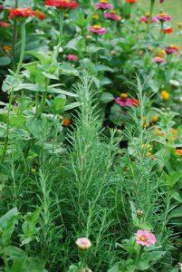 Rosemary interplanted with zinnias