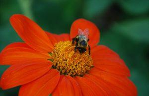 Tithonia, a great fall bloomer